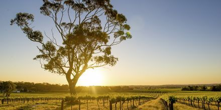 Barossa Valley, Australiens mest kendte vindistrikt