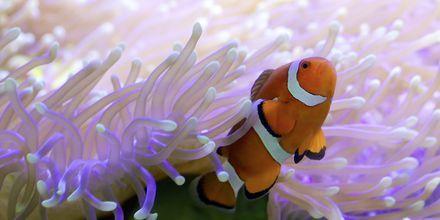 Snorkl ved det store Great Barrier Reef