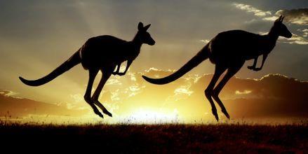 Oplev kænguruer som kun findes i Australien
