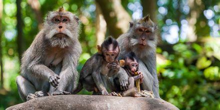 Aber i Ubud Monkey Forest på Bali.