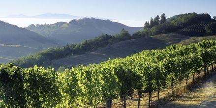 Vinplantage i Napa Valley.