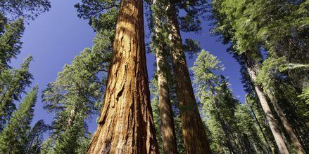 Kæmpe sequoia-træer i Redwood National Parks.