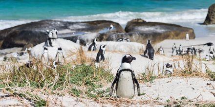 Afrikanske pingviner på stranden Boulders Beach i Cape Town.