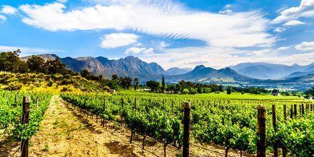 Den første vingård i Cape Town blev grundlagt allerede i 1652.