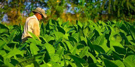 Tobaksmarker i Pinar del Rio, Cuba.