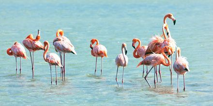 Curacao er et beskyttet hjem for flamingoerne.