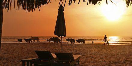 Strand i det nordlige Goa i Indien.