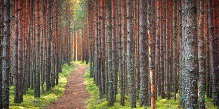 Nåleskov i Lahemaa Nationalpark i Estland.