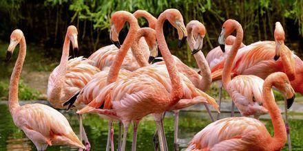 Smukke flamingoer