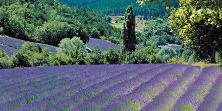 De smukke lavendelmarker i Aix-en-Provence i Frankrig.