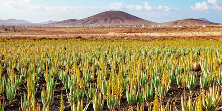 Aloe Vera-plantager på Fuerteventura.