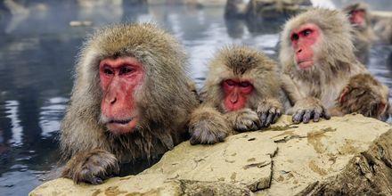 Sneaber som bader i en varm kilde i Nagano.