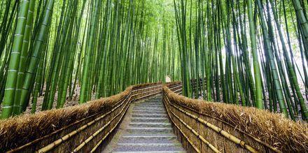 Bambus-vandring i skoven Arashiyama i Kyoto, Japan.