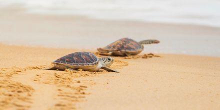 Havskildpadderne Caretta Caretta lægger sine æg i sandet.