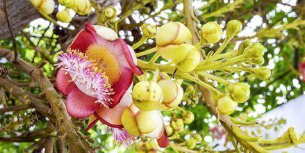 Et blomstrende cannonball-træ på øen Sal, Kap Verde.