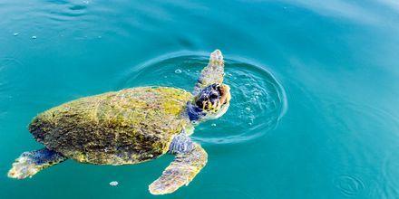 I Argostolis havn på Kefalonia kan du se skildpadder.