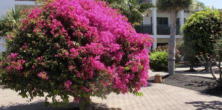Have på Hotel Las Marismas på Fuerteventura, De Kanariske Øer, Spanien.