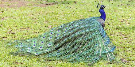 Påfugl i Casela Park, Mauritius.