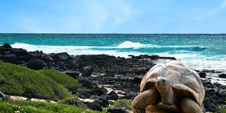 Skildpadde på Mauritius