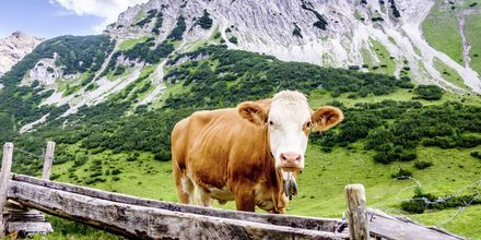 Under en vandretur i Østrig støder du på mange køer.