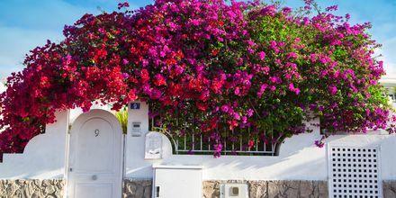 Bougainvillea i Puerto Rico på Gran Canaria, De Kanariske Øer, Spanien.