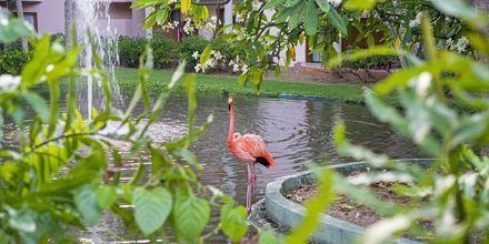 Flamingo i Punta Cana, Den Dominikanske Republik.