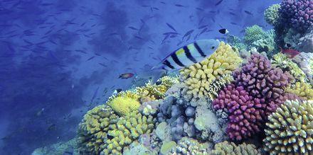 Farverige fisk, Sahl Hasheesh, Egypten.