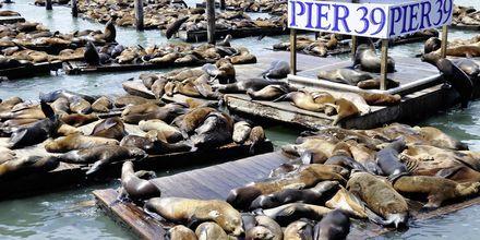 Søløver på Pier 39.