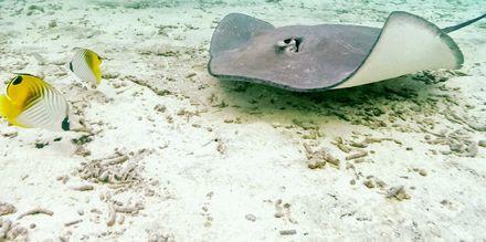Liv under havets overflade på en snorkeludflugt, Kap Verde