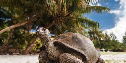 På øen La Curieuse udenfor Praslin lever 500 kæmpeskildpadder i Seychellerne.