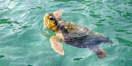 I Argostolis havn er der havskildpadder