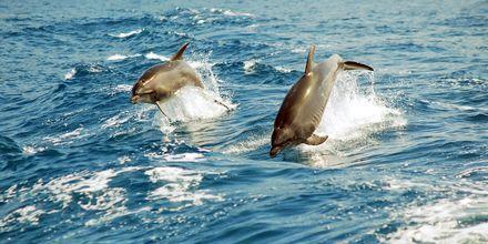 Delfiner i Atlanterhavet nær Tenerife, De Kanariske Øer.
