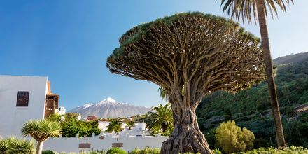 Træet El Drago Milenario på Tenerife, De Kanariske Øer.