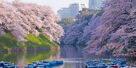 Kirsebærblomstringen - Sakura - er en populær tid på året at rejse til Japan.