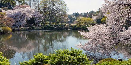 Omkring i hele byen blomstrer de smukke kirsebærtræer mellem marts og april, noget som hele byen fejrer.