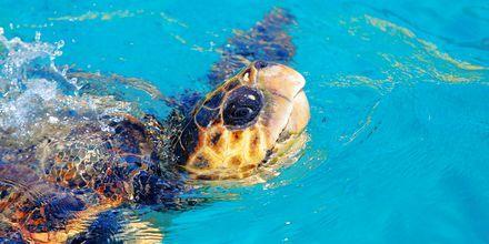 Havskildpadden Caretta Caretta på Zakynthos, Grækenland.